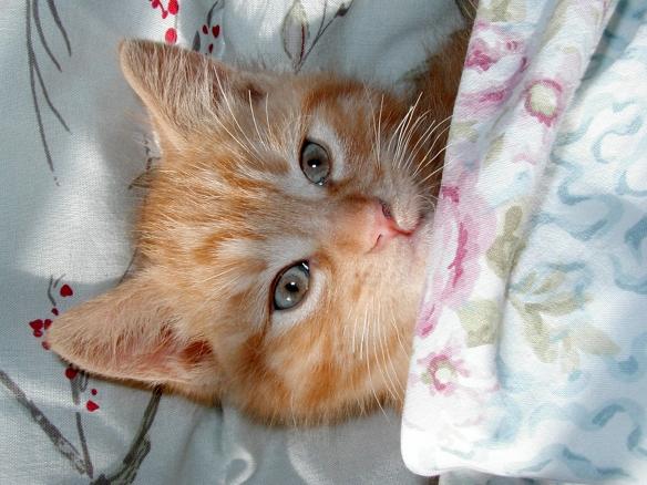 Gatto rosso sotto le coperte